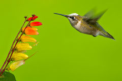 Rubin-Throated Kolibri Stockfotos