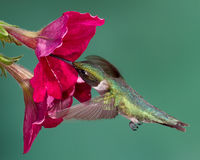 Rubin-Throated Kolibri lizenzfreie stockfotos