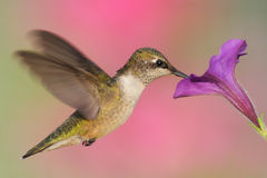 Rubin-throated Kolibri Lizenzfreies Stockbild