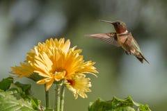 Rubin-Throated Kolibri Lizenzfreie Stockfotografie