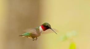 Rubin-Throated Kolibri (Archilochus colubris) Lizenzfreies Stockbild
