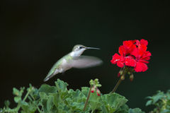 Rubin-throated Kolibri an den roten Blumen Stockfotos