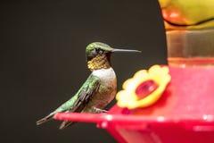 Rubin-throated Kolibri an der Zufuhr Lizenzfreies Stockbild