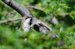 Rubin-Throated Kolibri hockte in einem Baum Stockbild
