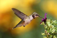 Rubin-throated kolibri i flykten Fotografering för Bildbyråer