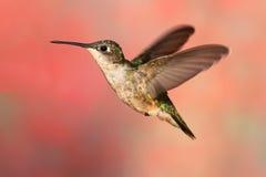 Rubin-throated Kolibri im Flug Lizenzfreie Stockfotos