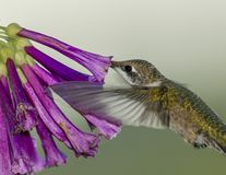 Rubin-throated kolibri och Violet Flowers Royaltyfria Bilder