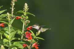 Rubin-throated kolibri som matar på den Salvia coccineaen arkivfoton
