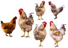 rubinetto Ritratto del gallo Gallo su un'azienda agricola Gallo e polli Fotografia Stock
