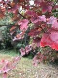 Rubini rossi Fotografia Stock