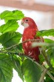 Rubino di colore del pappagallo di Rosella che si siede su un ramo di una rosa cinese immagine stock