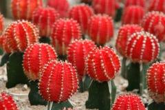 Rubinowy Balowy Czerwony kaktus Obraz Royalty Free