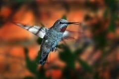 Rubinowy gardła hummingbird Zdjęcie Stock