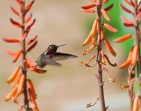 Rubinowy Throated Hummingbird Zdjęcie Stock