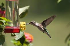 Hummingbird przy dozownikiem Obraz Royalty Free