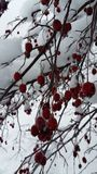 Rubious莓果 库存照片