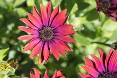 Rubis d'élite d'Osteospermum Photos libres de droits