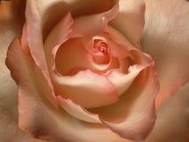 Ruborícese color de rosa Imagen de archivo libre de regalías