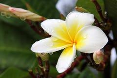 Rubra amarelo do Plumeria Fotografia de Stock