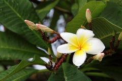 Rubra amarelo do Plumeria Imagem de Stock
