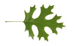 rubra d'isolement de rouge de quercus de chêne de lame Photographie stock libre de droits