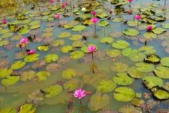 Rubra del Nymphaea de los lirios de agua rosada o roja en un lago rural natural esta clase de flor también llamó el shaluk o el imagen de archivo
