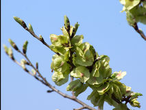 Rubra do Ulmus da árvore de olmo vermelho Imagem de Stock