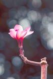 Rubra Plumeria - изображение запаса Стоковое Изображение