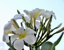 Rubra Plumeria цветка Стоковая Фотография