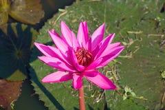 Rubra rouge de Lily Nymphaea de fleur dans un étang thailand Photos stock