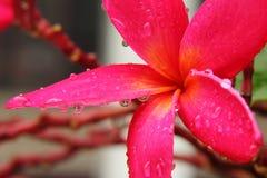 Rubra vermelho do Plumeria Fotos de Stock