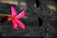 Rubra vermelho do Plumeria Imagem de Stock