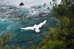 rubricaudra Rouge-coupé la queue de phaéton de Tropicbird en vol à la réserve nationale de point de Kilauea, Kauai, Hawaï image libre de droits