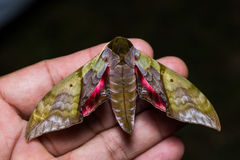 Rubricosa green and pink hawk moth Royalty Free Stock Image