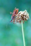 Rubricus di Rhynocoris Fotografie Stock Libere da Diritti