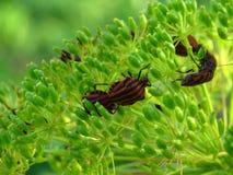 Rubrolineatum de Graphosoma - insectes de puanteur sur la fleur d'aneth photographie stock libre de droits