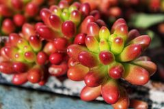 Rubrotinctum sedum roślina pod słońcem Fotografia Royalty Free