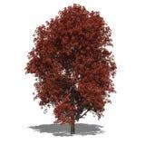 Rubrum Acer (φθινόπωρο) Στοκ Εικόνα