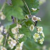 Rubrum de Ribes Fleurs de jonkheer van tets de groseille rouge Images libres de droits