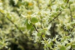 Rubrum L - Loropetalum chinense 免版税库存照片