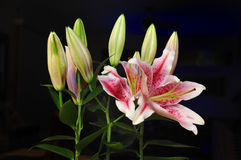Rubrum Lily Royalty Free Stock Photography