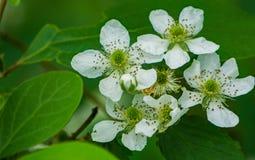 """Rubus allegheniensis del †di Allegheny Blackberry """" Immagini Stock"""
