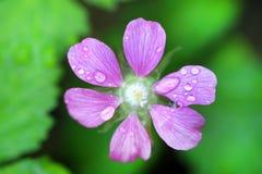 Rubus arcticus σμέουρο Στοκ Εικόνες