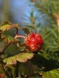 Rubus arcticus Στοκ Φωτογραφία