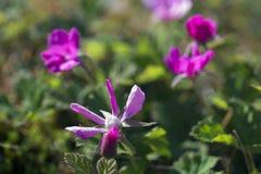 Rubus arcticus Στοκ Φωτογραφίες