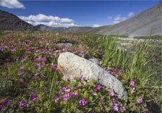 Rubus arcticus Στοκ φωτογραφίες με δικαίωμα ελεύθερης χρήσης