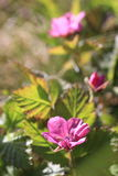 Rubus arcticus Στοκ φωτογραφία με δικαίωμα ελεύθερης χρήσης