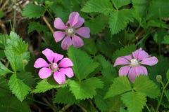 Rubus arcticus L. Stock Image