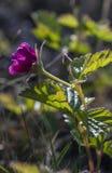 Rubus artique Photographie stock