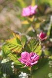 Rubus artique Photographie stock libre de droits